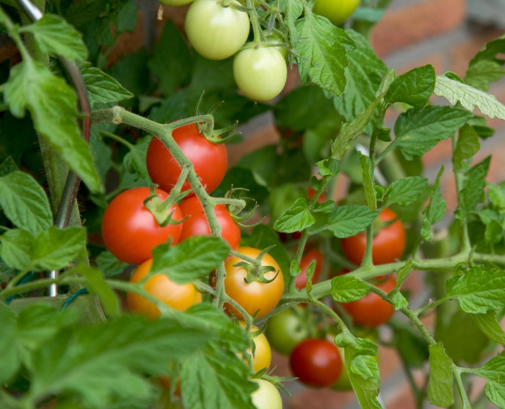 Tomato crops are protected and revitalised following application of Recharge from Russell IPM.
